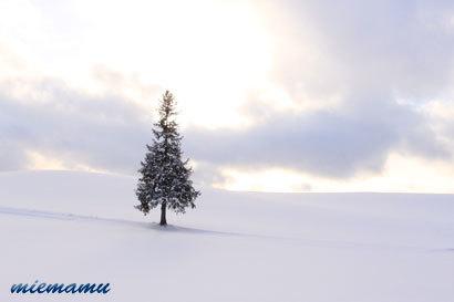 クリスマスツリーの木〜12月の美瑛9919.jpg