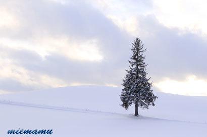 クリスマスツリーの木〜12月の美瑛9922.jpg