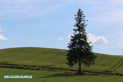 クリスマスツリーの木〜6月の美瑛1205.jpg