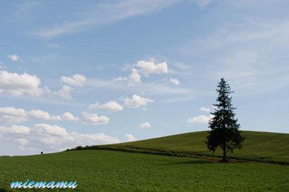 クリスマスツリーの木〜6月の美瑛1211.jpg