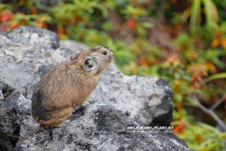 ナキウサギの横顔と…2114.jpg