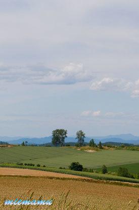 パフィーの木と丘〜6月の美瑛1179.jpg