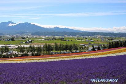 ファーム富田にて〜ラベンダーと山並み2512.jpg