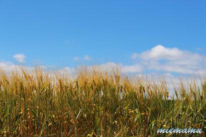 大麦畑〜7月の中富良野9787.jpg