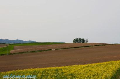 新栄の丘とキガラシ〜5月の美瑛0102.jpg