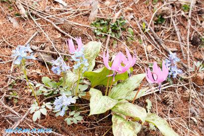 春の野の花カタクリ〜4月の美瑛0414.jpg