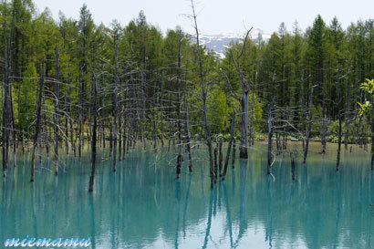 青い池〜5月の美瑛_0994.jpg